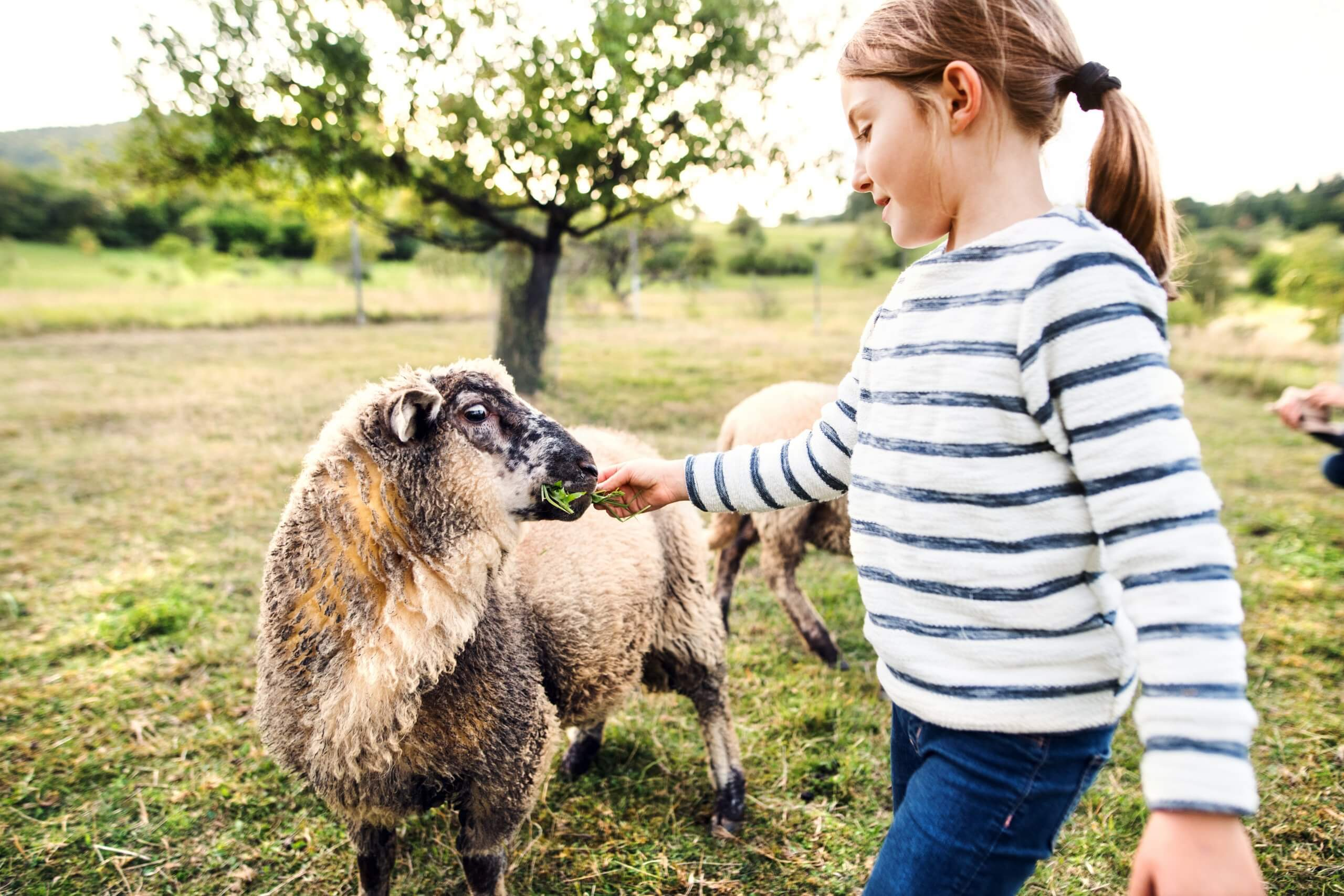 Niña alimentando a una oveja